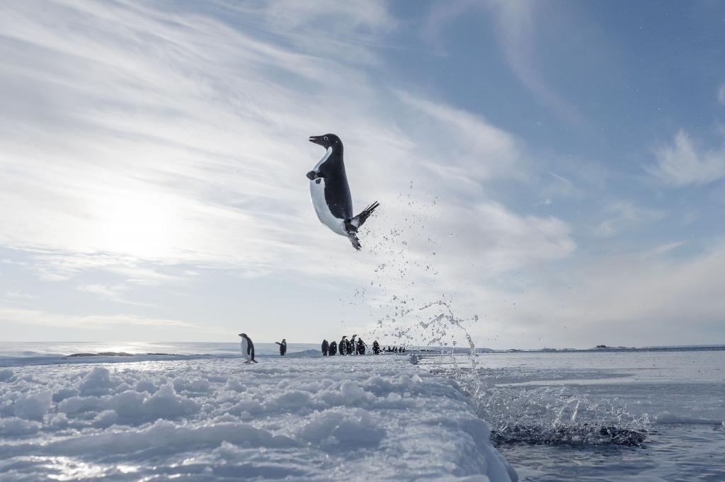 Überseemuseum - Antarctica Adeliepinguin ©Vincent Munier